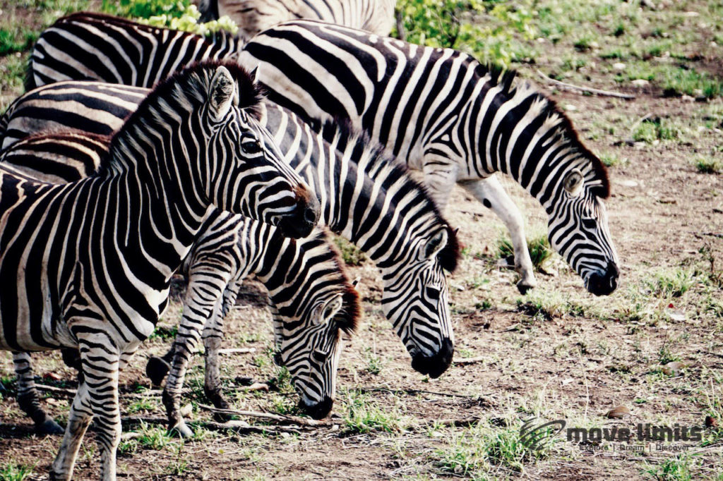 Safari im Krüger Nationalpark in Südafrika - Grasende Zebras - movelimits.de