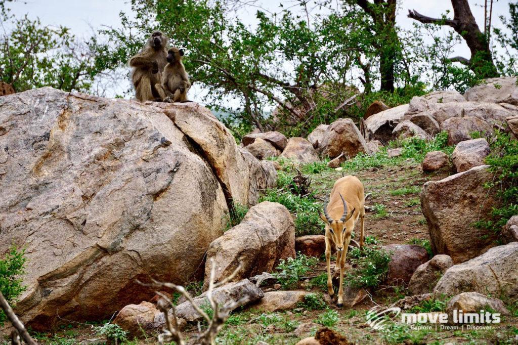 Safari im Krüger Nationalpark in Südafrika - Kudu und Affen - movelimits.de