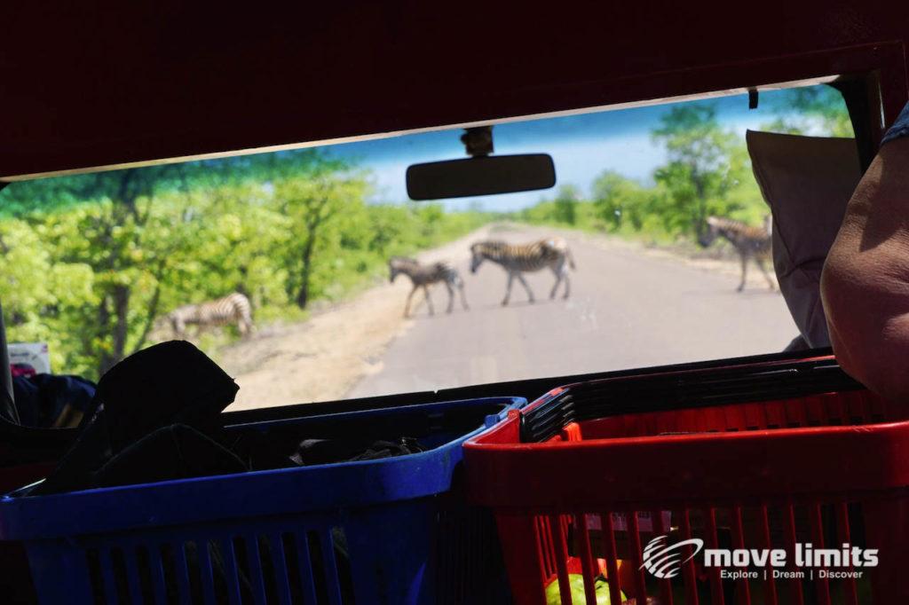 Safari im Krüger Nationalpark in Südafrika - Zebras auf der Straße - movelimits.de