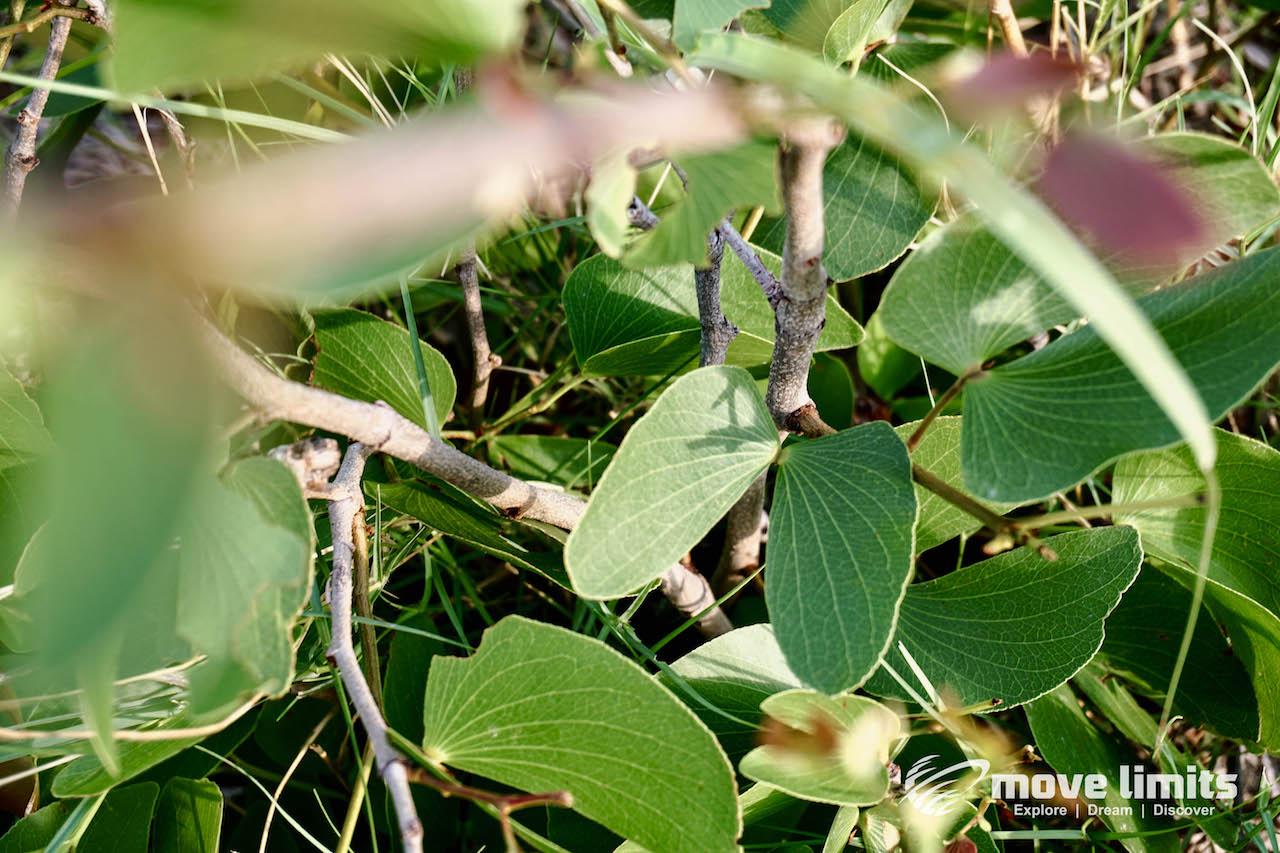 Zwei Tage im Delta des Okavango in Botswana - Schmetterlingsbaum - movelimits.de