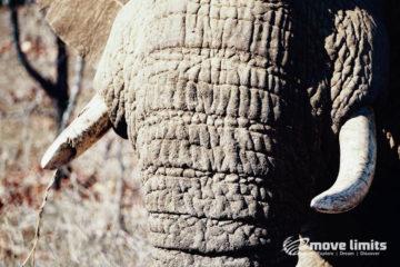 Safari im Krueger Nationalpark in Suedafrika - Elefant Nahaufnahmen - movelimits.de
